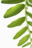 Ветвь лилий долины с звукомерно обнаруженными местонахождение листьями Стоковые Фото