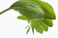 Ветвь лилий долины с звукомерно обнаруженными местонахождение листьями Стоковое фото RF