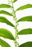 Ветвь лилий долины с звукомерно обнаруженными местонахождение листьями Стоковое Изображение