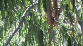 Ветвь и листья евкалипта акции видеоматериалы