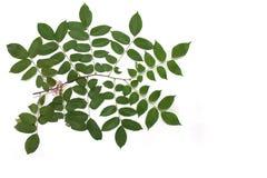 Ветвь и листья Стоковая Фотография RF