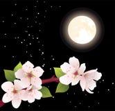 ветвь и луна вишни вектора Стоковые Фото