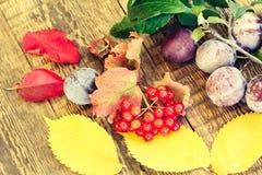 Ветвь калины, сливы на ветви и листья желтого цвета осени Стоковые Фотографии RF