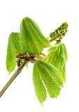 Ветвь каштана с свежими зелеными листьями. Стоковое фото RF