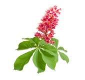 Ветвь каштанов конских красного цвета зацветая Стоковое фото RF
