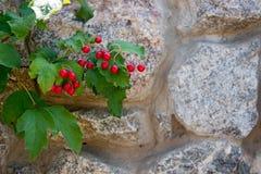 Ветвь калины и каменной стены Стоковая Фотография RF