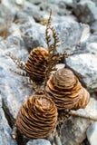 Ветвь кедра с 3 конусами Стоковая Фотография