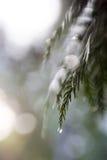Ветвь кедра с фокусом капельки воды мягким Стоковые Изображения