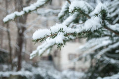 Ветвь кедра Snowy в городском парке Стоковое Изображение