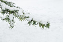 Ветвь кедра Snowy в городском парке Стоковые Фотографии RF