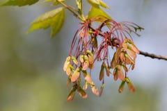 Ветвь клена с семенами стоковые фотографии rf
