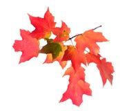 Ветвь кленового листа Стоковая Фотография