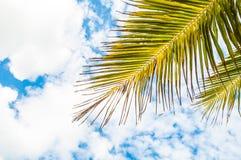 Ветвь кокосовой пальмы и голубое небо Стоковое Изображение RF