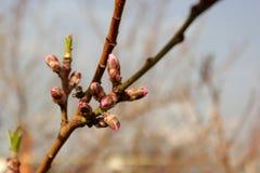 Ветвь конца-вверх персикового дерева весной Стоковое Изображение RF