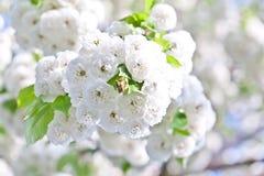 Ветвь конца-вверх цветеня весной Стоковое Изображение