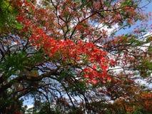 Ветвь королевского poinciana на голубом небе в дневном времени Стоковые Фотографии RF