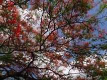 Ветвь королевского poinciana на голубом небе в дневном времени Стоковая Фотография RF