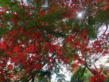 Ветвь королевского poinciana на голубом небе в дневном времени Стоковое Изображение