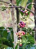 Ветвь кофе Стоковые Изображения