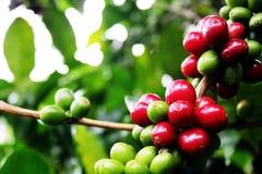 Ветвь кофе Стоковое Изображение RF