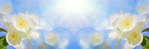 Ветвь красивого белого жасмина цветет против яркого голубого неба панорамно стоковое изображение rf
