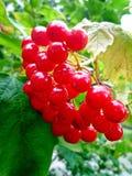 Ветвь красных ягод калины Стоковые Фотографии RF
