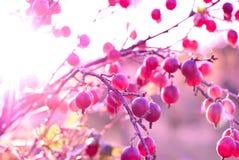 Ветвь крыжовника с ягодами Стоковое Изображение