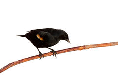 ветвь кукушкы передняя полагается redwing Стоковая Фотография RF