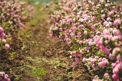 Ветвь куста роз Стоковая Фотография