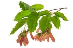 Ветвь клена с листьями и стручками семени Стоковые Изображения RF