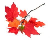 Ветвь кленового листа Стоковое Изображение