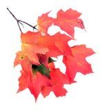 Ветвь кленового листа Стоковая Фотография RF