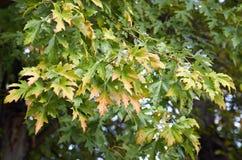 Ветвь кленовых листов стоковая фотография