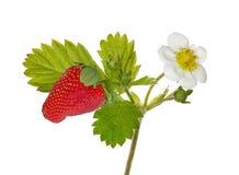 Ветвь клубники с цветками и ягодой на белизне Стоковое Фото