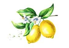 Ветвь лимона с цветками и листьями плодоовощей Нарисованная рука акварели иллюстрация штока