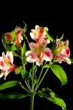 ветвь листает орхидея Стоковая Фотография RF