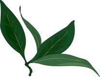 Ветвь лист залива бесплатная иллюстрация