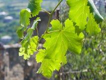 Ветвь лозы с листьями в конце-вверх backlight с предпосылкой bokeh, селективным фокусом, отмелым DOF стоковая фотография