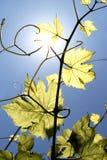 Ветвь лозы Стоковое Изображение RF