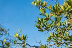 Ветвь мангровы на голубом небе Селективный фокус Стоковые Изображения