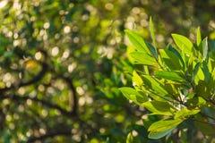 Ветвь мангровы на bokeh предпосылки леса мангровы Стоковые Изображения RF