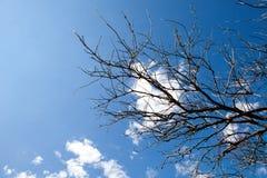 Ветвь мертвого дерева над голубым небом Стоковая Фотография