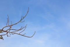 Ветвь мертвого дерева с голубым небом. Стоковая Фотография