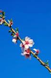 Ветвь миндального дерева с первыми цветками и тургорными бутонами Стоковая Фотография RF