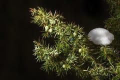 Ветвь можжевельника с незрелыми ягодами Черная предпосылка Стоковая Фотография RF