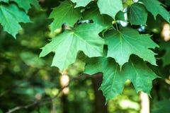 Ветвь молодого дерева, зеленый цвет выходит пошатывая ветер изолированный клен листьев Между деревьями ломает луч солнца Парк Стоковая Фотография RF