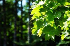 Ветвь молодого дерева, зеленый цвет выходит пошатывая ветер изолированный клен листьев Между деревьями ломает луч солнца Парк Стоковые Изображения