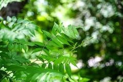 Ветвь молодого дерева, зеленый цвет выходит пошатывая ветер изолированный клен листьев Между деревьями ломает луч солнца Район па Стоковые Изображения
