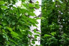 Ветвь молодого дерева, зеленый цвет выходит пошатывая ветер изолированный клен листьев Между деревьями ломает луч солнца Район па Стоковые Фотографии RF