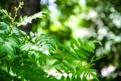 Ветвь молодого дерева, зеленый цвет выходит пошатывая ветер изолированный клен листьев Между деревьями ломает луч солнца Район па Стоковая Фотография RF